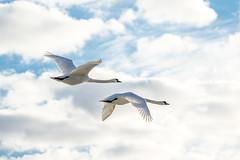 20170320_075110.jpg (jussidimitrijeff) Tags: bird helsinki vuosaari muteswan