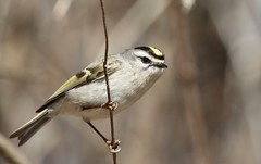 Golden-crowned Kinglet (Jeannine St. Amour) Tags: bird migration goldencrownedkinglet nature wildlife ottawa