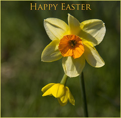 ~ Happy Easter ~ (Margaret S.S) Tags: card daffodil flower happy easter narcissus