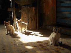 Three posing kittens (Stinoo) Tags: kat katten poes poezen cat cats pussy kitten chat chats marrakech marokko marocco medina sooks soeks