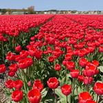 TulipsHolland006 thumbnail