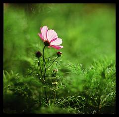 波斯菊--Comos Flowers (smadalin2012) Tags: hasselblad hasselblad203fe dallmeyer supersix 203mm 2032 8inch movielens cinema fujifilm velvia rvp100 film scanned mediumformat 6x6 bokeh cosmos flowers winter hsinchu 波斯菊