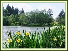 Spring Vista (FernShade) Tags: ancouver britishcoilumbia westcoiast pacificnorthwest stanleypark losdtlagoon springtime springsceneryscenicnatureoutdoorslakewaterwildiris flags flowers flora