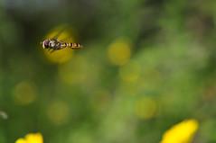Vuelo de reconocimiento (Aristides Díaz) Tags: lagunas del padul flores mosca cernidora botón de oro nikkoraf28105f3545d macro pdc insectoenvuelo