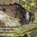 Yellow-crowned Brush-tailed Rat, Isothrix bistriata
