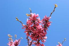 Spring beauty (esraÖzalp) Tags: canon canon550d art flower flowers natural nature sky pink blue minimalistic minimalist minimalism çiçek doğa pembe sanat beauty beautiful creature