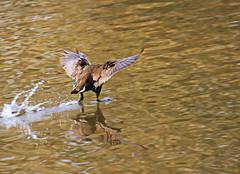 ...kopflos (jueheu) Tags: ente stockente vogel bird duck wasser water spiegelung reflection waterreflection braun brown weis white natur nature natura wildlife