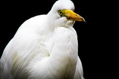 eye of the egret (kmanflickr) Tags: snow egret living desert zoo garden palms spring