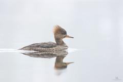 Hooded merganser - Harle couronné - Lophodytes cucullatus (Maxime Legare-Vezina) Tags: duck canard bird oiseau nature wildlife animal canon spring quebec canada