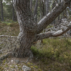 Older Pine (prajpix) Tags: conifer tree wood pine caledonian scots dulnain highlands scotland ancient nature woods forest