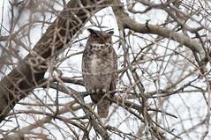 Under the Watchful Eye (martytdx) Tags: birds birdofprey owl greathornedowl bubovirginianus adult nesting bubo strigidae nj palmyra palmyracove palmyracovenaturepark birding migrationspring2017