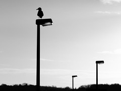 kiel_P4227064 (ghoermann) Tags: deu deutschland düsternbrook geo:lat=5434446289 geo:lon=1015507936 geotagged kiel schleswigholstein bird seagull