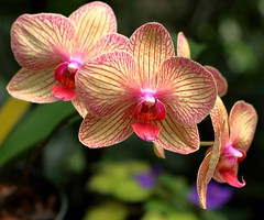 Orchids (AndyM.) Tags: charleston southcarolina canon 60d 50mm nature green magnoliaplantation flower flowers orchids pink