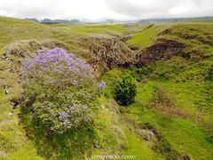 DJI_0110 copy (Aaron Lynton) Tags: jacaranda tree purple purps kula upcountry maui drone mavic djimavic dji hawaii dakine