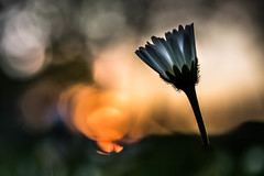 Just before sunset (marielledevalk) Tags: flower daisy blur bokeh dof silhouette light sun sunset nature