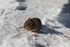 Little friend (Gryshchenko) Tags: iceland island wildlife wildlifephotos wildlifephotography glanni mouse🐭 mouse field fieldmouse animals animalface little littlefriend winter surviving toughlife breadcrumb breadcrumbs
