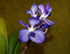 Vanda coerulea species orchid, 1st bloom  3-17* (nolehace) Tags: winter nolehace sanfrancisco fz1000 flower bloom plant vanda coerulea species orcid 317 1st