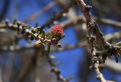 fleurs de mélèze (bulbocode909) Tags: valais suisse alpagedutronc montchemin mélèzes arbres nature branches fleurs printemps montagnes bleu