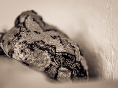 Frog (ildikoannable) Tags: animal frog small bw mono eye detail texture