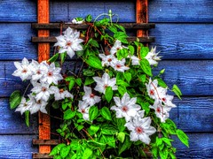 Clematis on the Blue (clarkcg photography) Tags: clematis climb vine white petals green leaves blue paint wall lapsiding flora fridayflora 7dwf