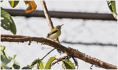 """The bird is powered by its own life and by its motivation."" (Ramalakshmi Rajan) Tags: quotes birds sunbird purplerumpedsunbird inmygarden bird nikond5000 nikon nikkor70300mm"