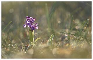 Orchis bouffon-  Anacamptis morio