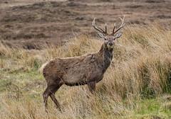 Scottish Red Deer (Cervus elaphus) (hunt.keith27) Tags: patch rump buff paler russetbrown dark territory branchingantlers moorland scotland scottishhighlands antler stag reddeer cervuselaphus anima