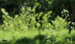 chase (sapphire_rouge) Tags: spring tokyo 東京 shinjyukugyoen butterfly shinjuku 新宿 新宿御苑 japan blackswallowtail ngc