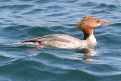 Smergo Maggiore (kyry2010) Tags: smergo maggiore uccello bitd vogel oiseau animal animale lago