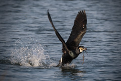 Take off (Jacko 999) Tags: cormorant nature reserve canon eos 7d mark ii ef100400mm f4556l is usm wild feather female feathers robert eede kent bird water 14x iii ƒ80 4370 mm 11250 400 rspb dunginess