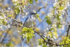 California Scrub Jay (lamoustique) Tags: californiascrubjay aphelocomacalifornica westernscrubjay salmoncreek vancouver washington geaibuissonnier