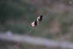 IMG_2795 (udaykhatri photography) Tags: beautiful birds kite udaykhatri animal nature ahmedabad canon garden park baaz care bird black sky photography wildlife yellow two love colors india testing tree bulbul parrot