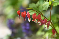 Red Bleeding heart (myu-myu) Tags: nature plant flower bleedingheart lamprocapnosspectabilis valentine mygarden nikon d810 タイツリソウ ケマンソウ バレンタイン 庭 japan