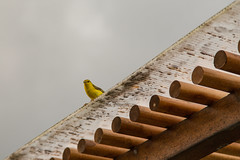 You Are Being Watched... (Jill Clardy) Tags: ecuador galapagosislands bird cloudy corrugated metal poles roof wood yellow 201304184b4a5874 finch