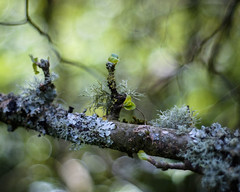 Luscious Lichen (Fourteenfoottiger) Tags: green pastel soft blur sprouting new fresh buds bokeh bubblebokeh legacylens vintagelens pentaconf1850mm pentacon fujixt1 woods woodland lichen dof depthoffield trees branches twigs spring textures nature abstract