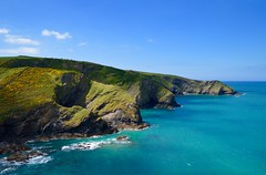 Pine Haven and Varley Head (rustyruth1959) Tags: gorse cliffs green cows southwestcoastpath coastpath path pinehaven varleyhead outdoor cornwall ocean sea water shore coastline nikon landscape seascape coast rocks cove blue sky portquin portisaac bay atlantic gettyimages