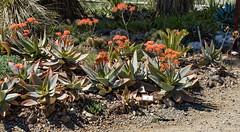 Aloe Beauty (J_Richard_Link) Tags: plant theruthbancroftgarden aloe flower succulent