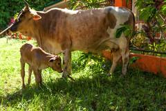In Search of Milk _8799 (hkoons) Tags: maritimesoutheastasia southeastasia whitesandsbeach beastofburden newborn brahma cow marinduque philippines poctoy torrijos animal beast bovine bull bullock calf horns island islands tropical tropics