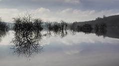 Flood Reflection (Kevin.Grace) Tags: ireland reflection tree flood