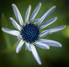 flower power of the  blue-eyed daisy (Fat Burns) Tags: flower macro whiteflower flora daisy africandaisy osteospermum australianflora capedaisy southafricandaisy blueeyeddaisy
