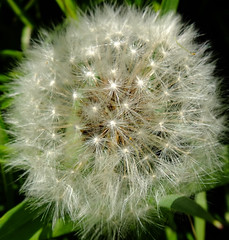(wivvy) Tags: white weed dandelion seeds fields wildflower x10 poppletonfields