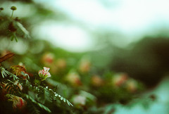 - (predopaulo) Tags: flower green film leaves canon bokeh leafs soligor