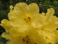 Nancy Evans (2) (dnoc) Tags: rhododendrons