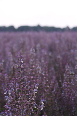 purple fields (peculiarnothings) Tags: flower nature field outdoors purple