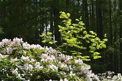 Rhododendron (Vestaligo in deep mourning) Tags: wood pink white color green forest geotagged austria sterreich spring bush blossoms rhododendron wald niedersterreich frhling speckbacherhtte loweraustriaeurope