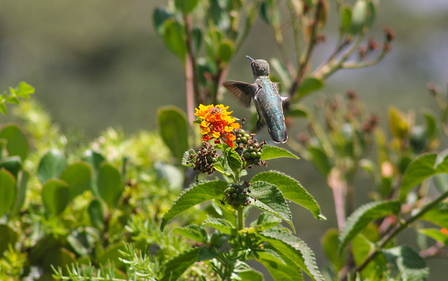 Hummingbird_at_Geek_Hill_2013-432