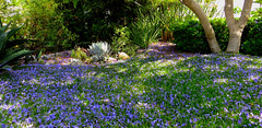Jacaranda Magic! (Bennilover) Tags: trees tree purple blossoms jacaranda magical purpleflower lawns