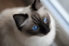 Chilli 5 (SuperNiima) Tags: pet cute cat blueeyes ragdoll