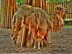 Wielbd dwugarbny (Camelus bactrianus) (m@riusz_ch) Tags: animals canon 350d camel hdr przyroda wielbd zwierzta