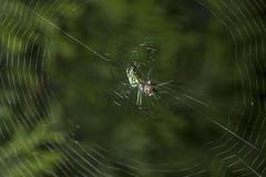 Spider eating series 19 (Richard Ricciardi) Tags: spider eating web spinne araa  araigne ragno timeseries     gagamba    nhn  spidertimeseries